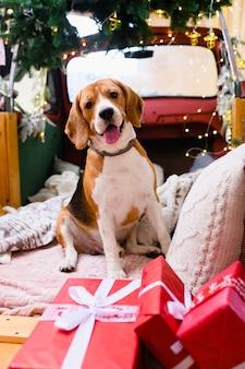 Urocze zwierzątko, pies rasy beagle siedzący na boże narodzenie i nowy rok udekorowane wnętrzem w pobliżu czerwonych pudełek na prezenty ze wstążkami i pokaż język