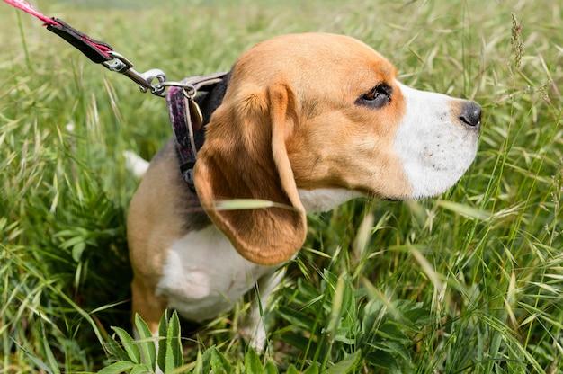 Uroczy beagle cieszy się spacer w naturze