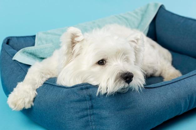 Uroczy biały pies na niebieskim tle