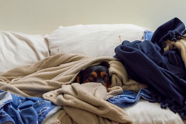Uroczy brązowy pies przykryty wieloma kocami na kanapie