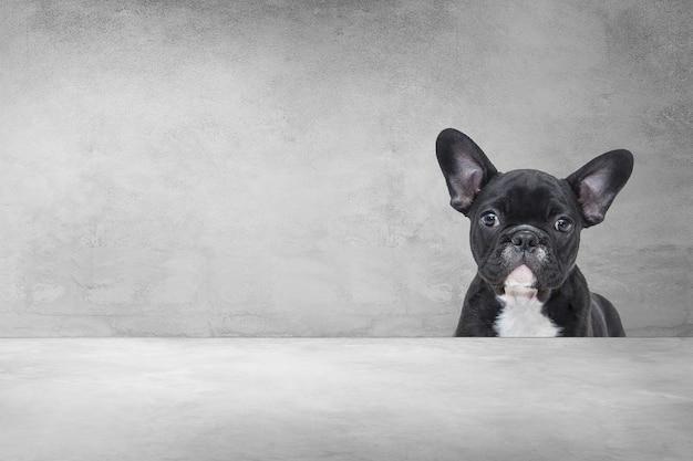 Uroczy buldog francuski, portret szczeniaka ładny zza cementu tle.