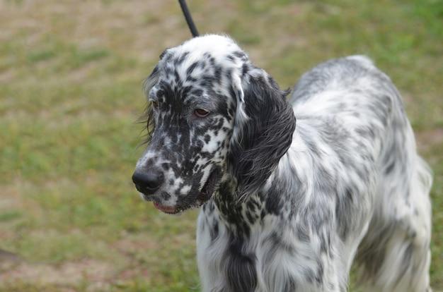 Uroczy czarno-biały pies seter angielski.