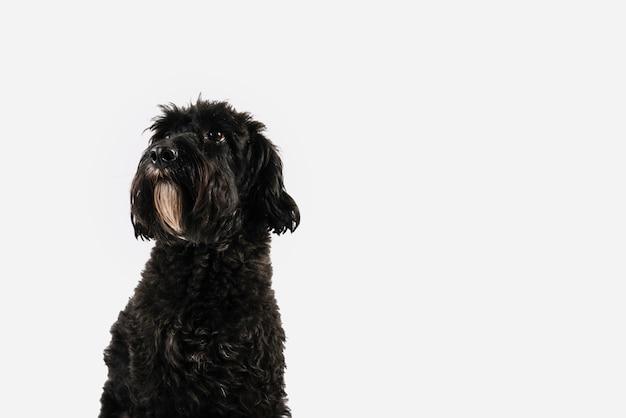 Uroczy czarny pies pozuje z białym tłem