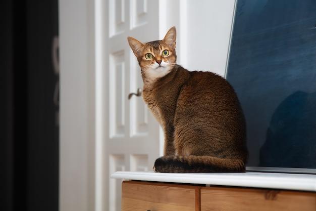 Uroczy dorosły kot abisyński siedzący na podłodze w mieszkaniu. zwierzak jest piękny i zabawny