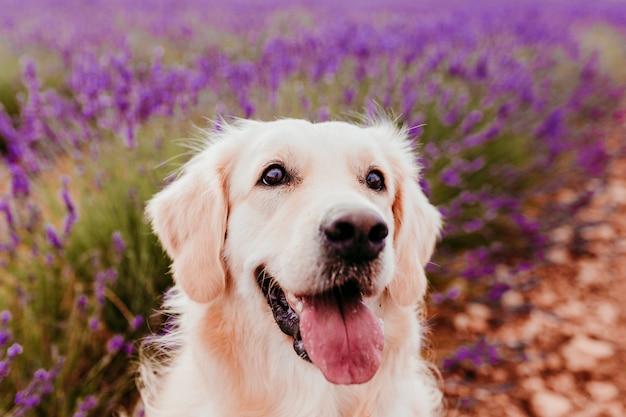 Uroczy golden retriever pies w lawendy polu przy zmierzchem