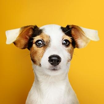 Uroczy jack russell retriever szczeniaka portret