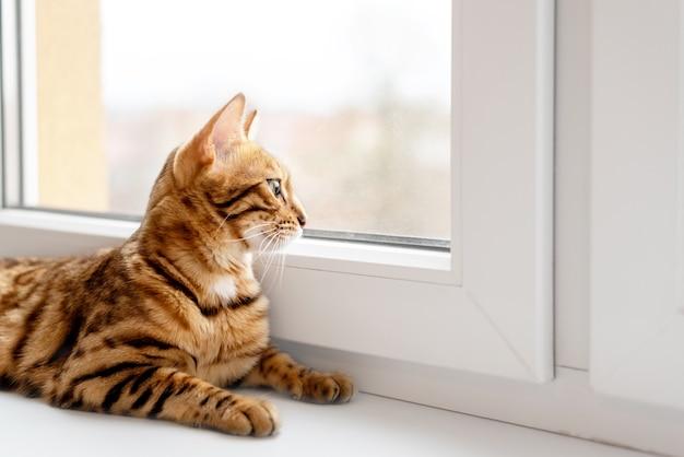 Uroczy kot bengalski leży na parapecie i ciekawie wygląda przez okno.