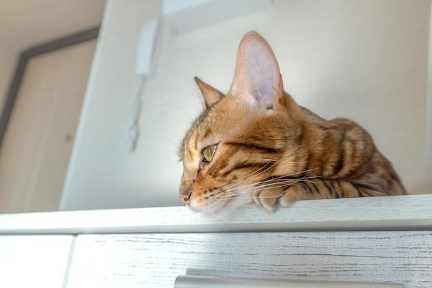 Uroczy kot bengalski odpoczywa na szafie w pokoju.