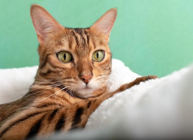 Uroczy kot bengalski odpoczywa w miękkim legowisku