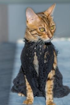 Uroczy kot bengalski w czarnej koronkowej sukience