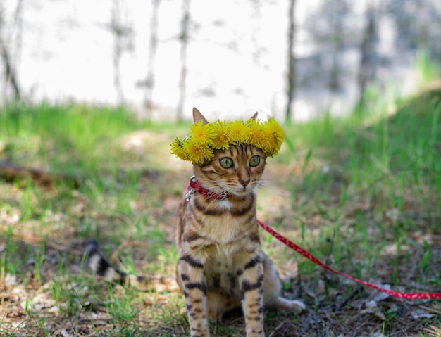 Uroczy kot domowy bengalski w wieńcu z kwiatów spaceruje po lesie