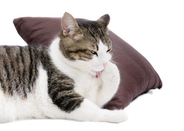 Uroczy kot ono czyści na białym odosobnionym tle