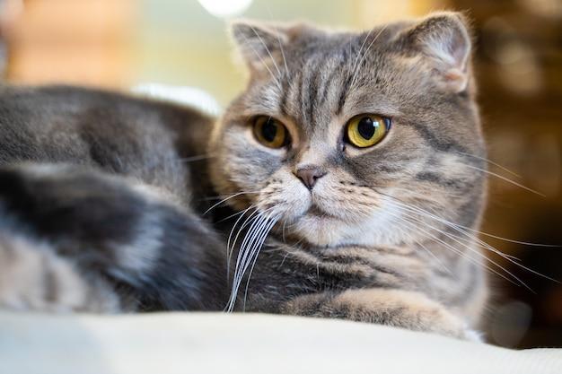 Uroczy kot szkocki zwisłouchy. siedzi w domu, patrzy w kamerę