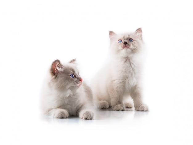 Uroczy koty na odosobnionym białym tle