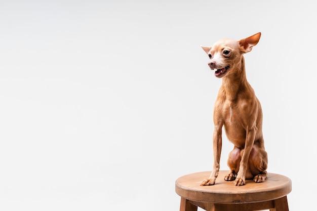 Uroczy mały chihuahua pies patrzeje daleko od