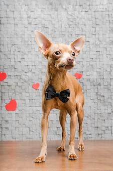 Uroczy mały pies chihuahua otoczony sercami