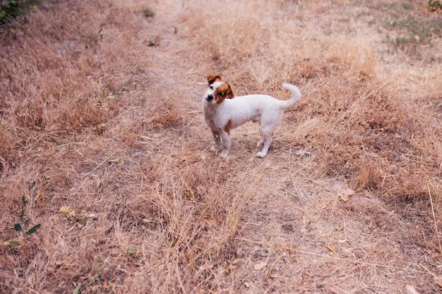 Uroczy mały pies siedzi wieczorem w środku pola zboża o zachodzie słońca mały śmiech psa na zewnątrz miłość do zwierząt koncepcji