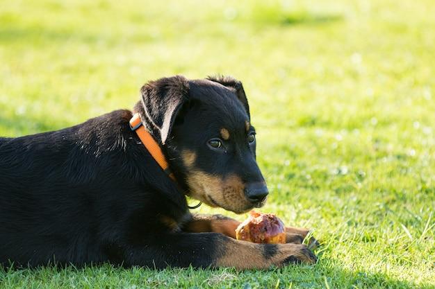 Uroczy młody owczarek beauce, leżący na zielonej trawie i jedzący jabłko