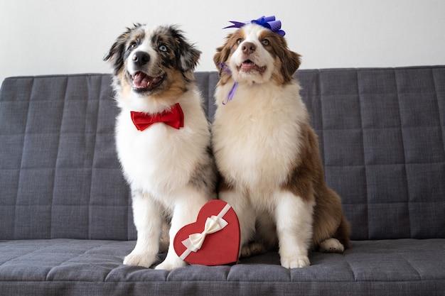 Uroczy owczarek australijski czerwony trzy kolory szczeniak z wielkim sercem. walentynki. na kanapie.
