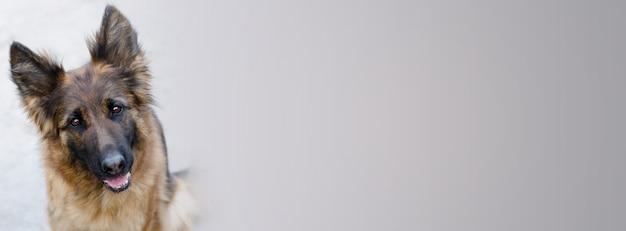Uroczy owczarek niemiecki patrząc od banera do widza. portret ciekawy owczarek niemiecki. zdjęcie głowy psa.