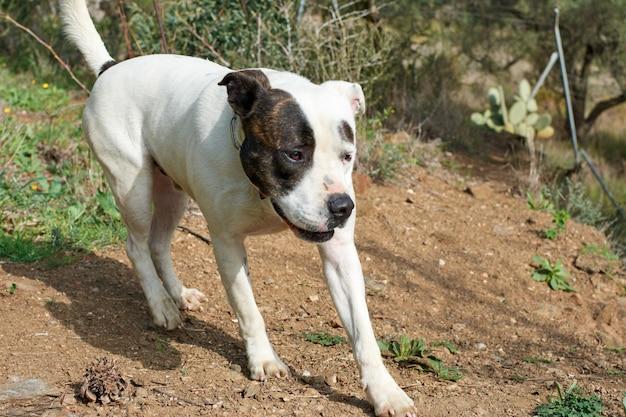 Uroczy pies biegnący bulterier