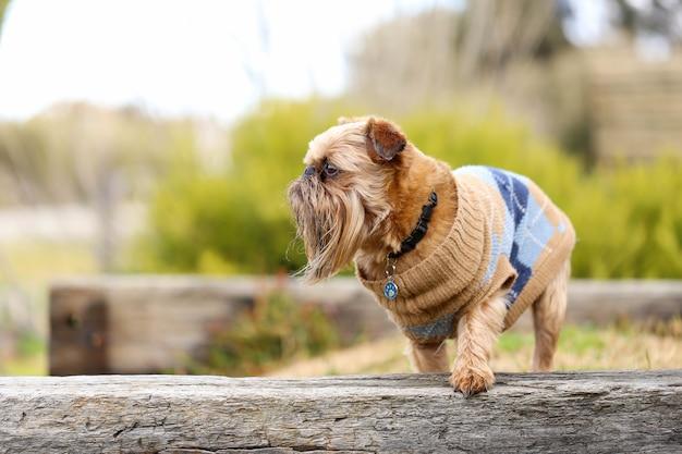 Uroczy pies brussels griffon w parku