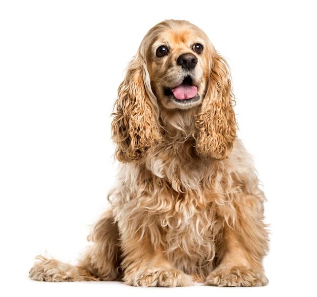 Uroczy pies cocker spaniel