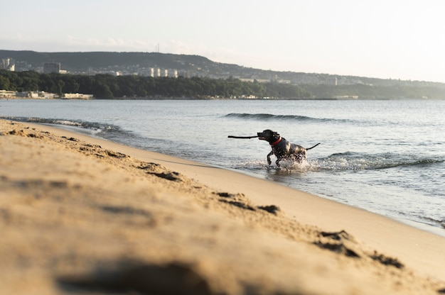 Uroczy pies pitbull na plaży?