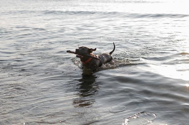 Uroczy pies pitbull w wodzie