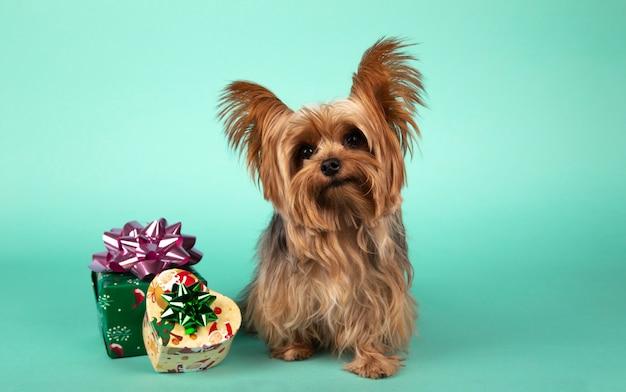 Uroczy pies rasy yorkshire z prezentami świątecznymi