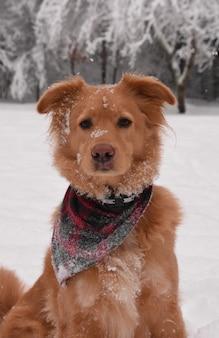 Uroczy pies retriever z różową kaczką w śnieżny zimowy dzień.