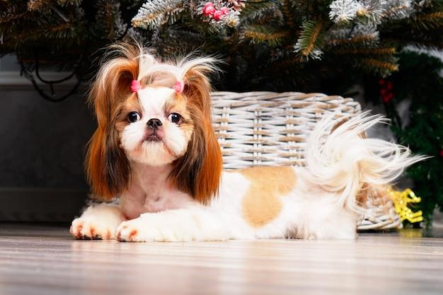 Uroczy pies shitsu z piękną fryzurą leży na tle choinki.
