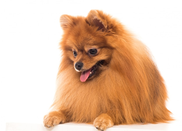 Uroczy pies szpic