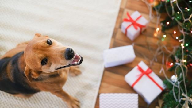 Uroczy pies z prezentami świętującymi boże narodzenie w domu.
