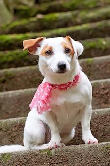 Uroczy piesek jack russell terrier w różowym szaliku