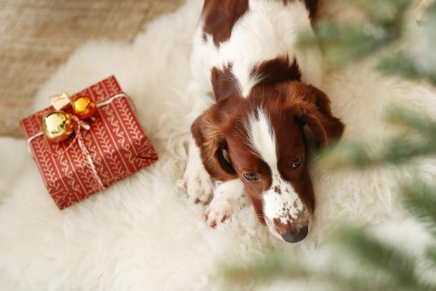 Uroczy piesek obok świątecznego prezentu