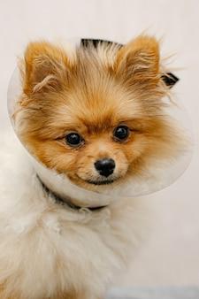 Uroczy pomeranian w kołnierzu medycznym. chory pies. ścieśniać. ochrona zwierząt medycznych.