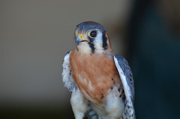 Uroczy ptak drapieżny z lekko otwartym dziobem