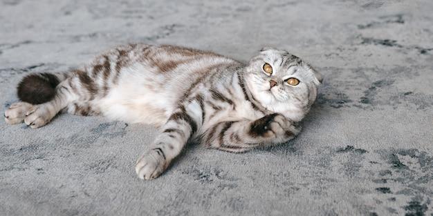 Uroczy szary szkocki kot leżący na szarym dywanie opieka nad zwierzętami kocha uroczą koncepcję