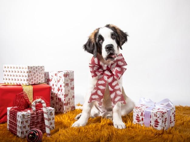 Uroczy szczeniak św. bernarda siedzący przed kamerą z kokardą w otoczeniu opakowanych w papier pudełek prezentowych.