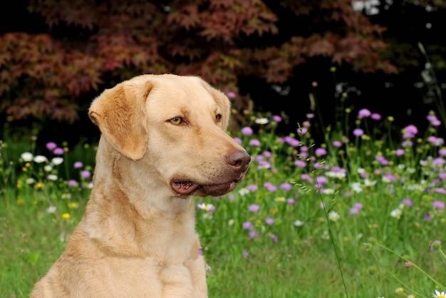 Uroczy typowy pies rasy chesapeake bay retriever stojący na trawie