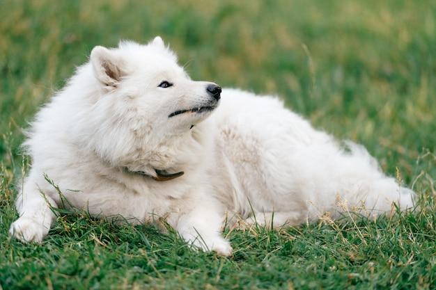Uroczy zadziwiający biały puszysty szczęśliwy samoyed szczeniaka lying on the beach na trawie plenerowej przy naturą w lecie. portret pięknego purebred pies relaksuje na polu. uroczy owłosiony uśmiechnięty zwierzę domowe na łące