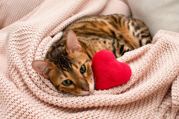Uroczy zielonooki kot bengalski leżący na różowym kocu z pluszowym czerwonym sercem. walentynki relaks, miłość, koncepcja zwierzęta. zbliżenie. valentine kartkę z życzeniami.