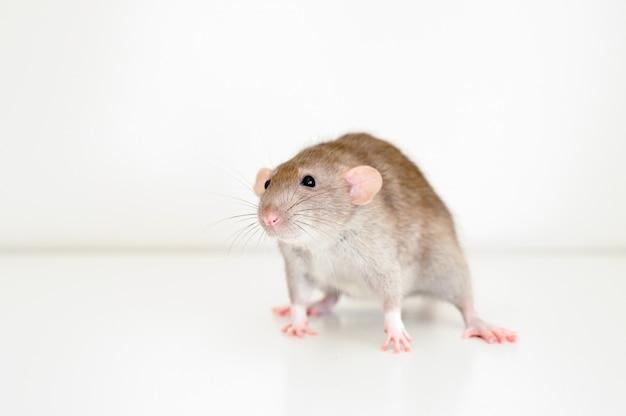 Uroczy zwierzak puszysty szczur z brązowym beżowym futrem na białej ścianie
