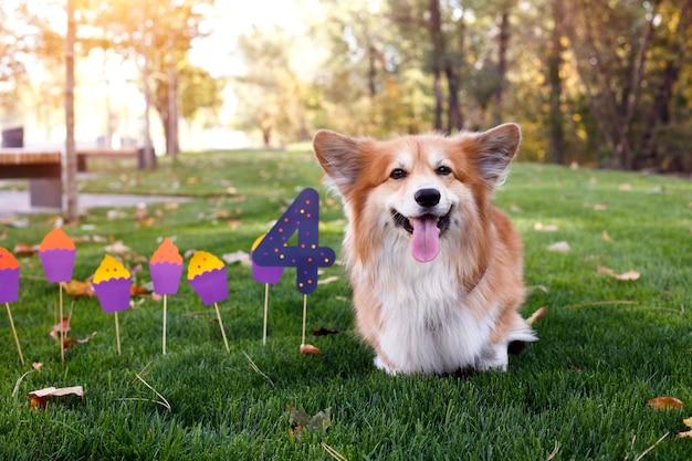 Urodziny off piękne puszyste corgi na zielonym trawniku i kolorowe flagi imprezowe w tle