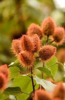 Urucum (annatto), rośliny z owocami.