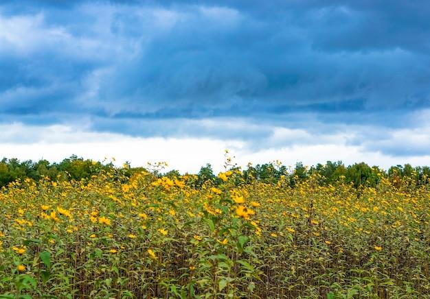 Urzekający widok na pola pełne żółtych kwiatów i drzew pod zachmurzonym niebem