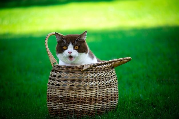 Uśmiechnięty kot brytyjski krótkowłosy siedzi w wiklinowym koszu