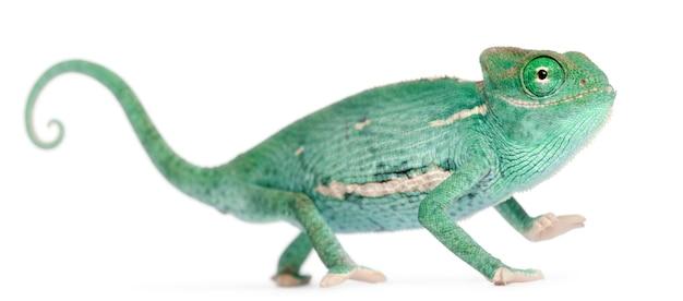 Uśmiechnięty młody zawoalowany kameleon, chamaeleo calyptratus