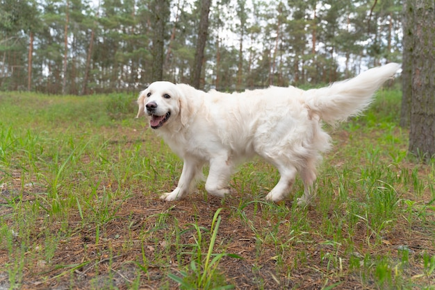 Uśmiechnięty pies spacerujący na świeżym powietrzu